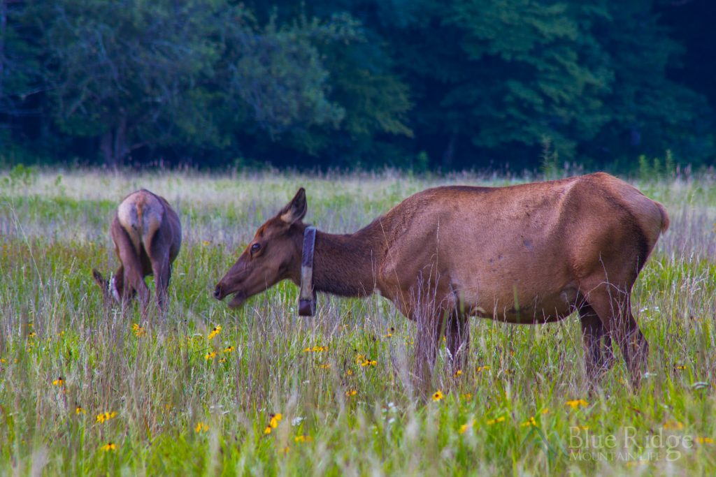 Cataloochee Valley Elk